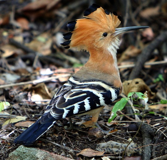 Madagascar Hoopoe -Upupa marginata (Matthew Golding - Flickr)