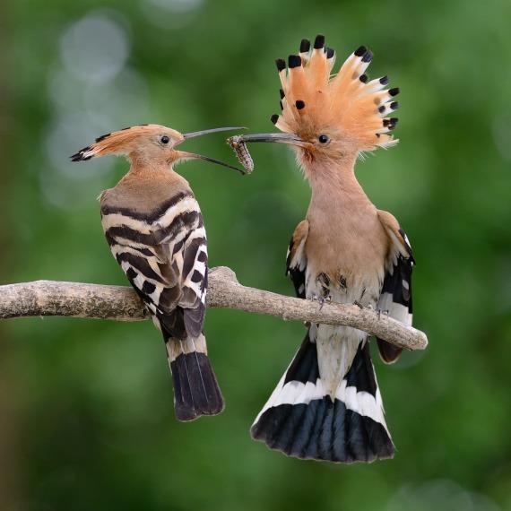 Eurasian Hoopoe pair (Henry E. Hooper)