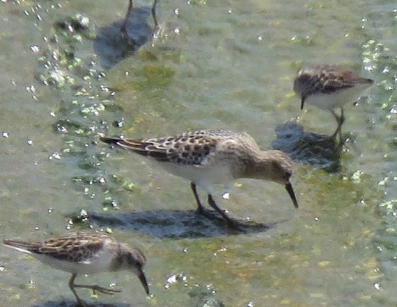 Baird's Sandpiper and 3 Least Sandpipers L.A. River Thos. Hinnebusch 8/27/2016