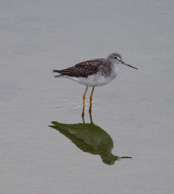 Greater Yellowlegs L.A. River J. Waterman 8/27/2016