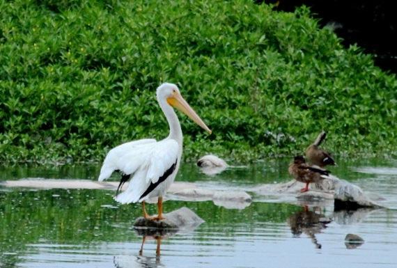 Amer. White Pelican L.A. River J. Waterman 8/27/2016