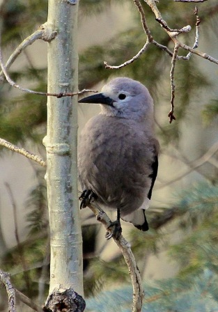 Juvenile Clark's Nutcracker, Colorado (Joyce Waterman)