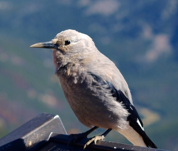 Clark's Nutcracker, Aspendell, Inyo Co, CA (Joyce Waterman)