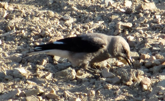 "Clark's Nutcracker caching nuts, Mt. Baldy, CA (""Bob"" July 2013)"
