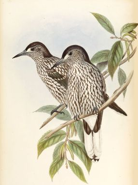 Kashmir Nutcracker (painting by John Gould)