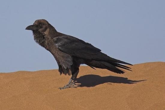 Brown-necked Raven, Hamada du daa, Morocco (Momo, Feb. 2007)