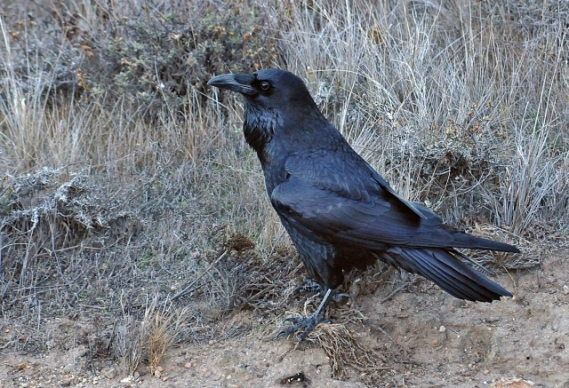 Common Raven, Santa Rosa (James Kenney, 11-24-12)