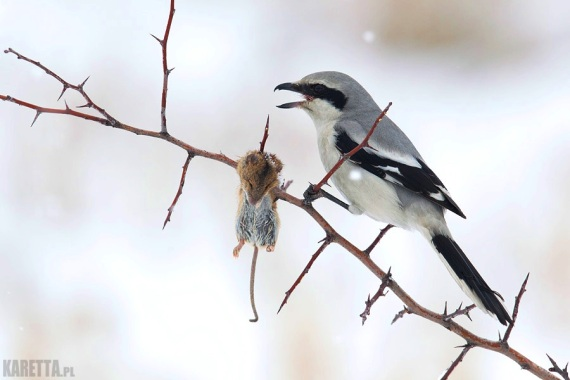 Great Grey Shrike and his impaled mouse.
