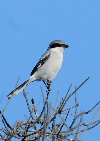 Loggerhead Shrike sits-and-waits on his bare twig perch. Malibu Creek State Park (Jim Kenney 11-20-12)