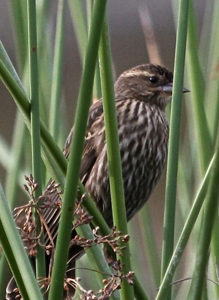 Female Red-winged Blackbird skulks in the reeds (J. Waterman 10-23-16)