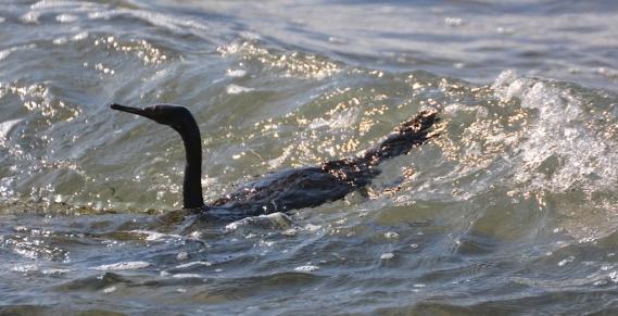 Pelagic Cormorant (G. Murayama 9-11-16)