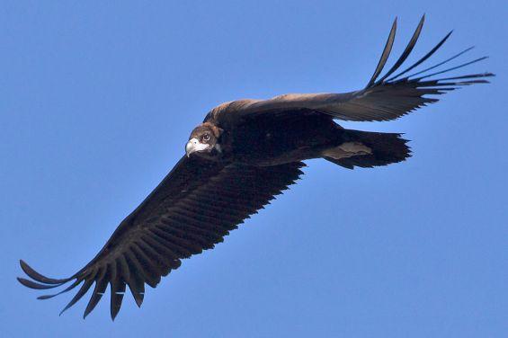 Eurasian Black or Cinerous Vulture Aegypius monarchus (Wikimedia Commons)