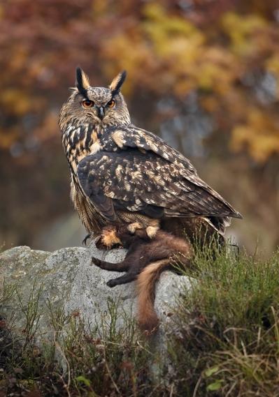 Eurasian Eagle Owl Bubo bubo, Zdarsle vrchy, Czech (Martin Mecnarowski - Wikimedia Commons)