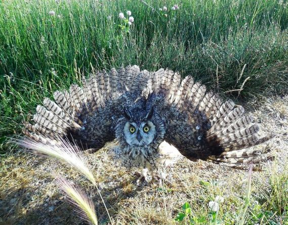 Long-eared Owl Asio otus, USFWS Mountain-Prairie (Nicole Hornslein - Wikimedia Commons)