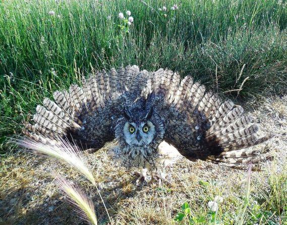 Long-eared Owl Asio otus, USFWS Mountain-Prairie (Nicole Hornslein - Wikimedia Commons)