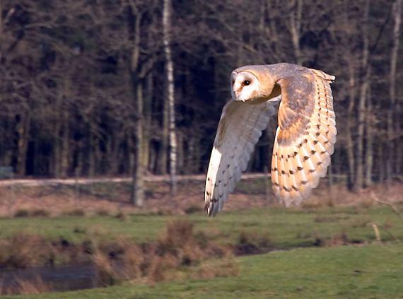 Barn Owl Tyto tyto; (Jurgen, Sandesneben, Germany - Wikipedia)