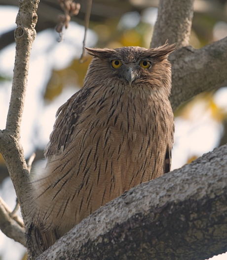 Brown Fish Owl Ketupa zeylonensis; Corbett NP, Uttarakhand, India (Koshy Kosny - Wikimedia Commons)