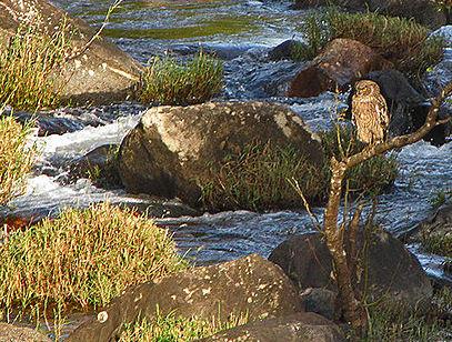Brown Fish Owl Ketupa zeylonensis; Tamil Nadu, India (D Momaya - Wikimedia Commons)