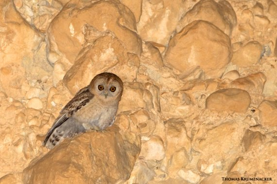 Desert Owl Strix hadorami, Israel (Thomas Krumenacker - Science News)