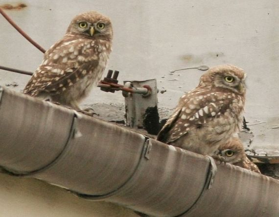 Little Owl Athene noctua, Warsaw, Poland (Artur Mikolajewski - Wikimedia Commons)