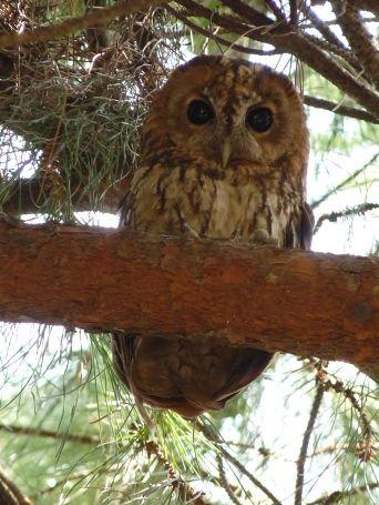 Tawny Owl Strix aluco Beldibi, Marmaris Mugla, Turkey (Nottsexminer - Wikimedia Commons)