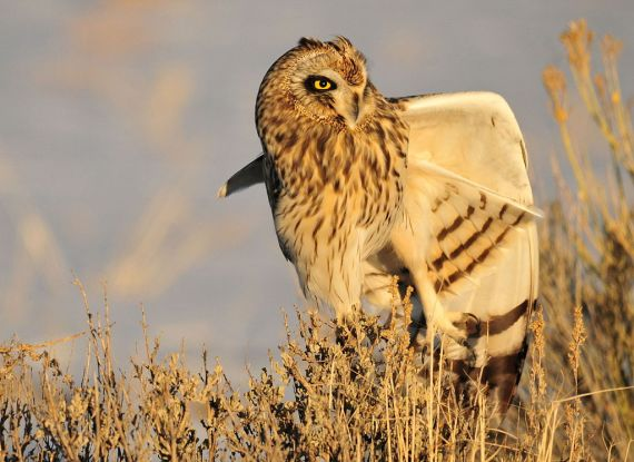 Short-eared Owl Asio flammeus - Seedskadee NWR, WY (Tom Koerner - Wikimedia Commons)