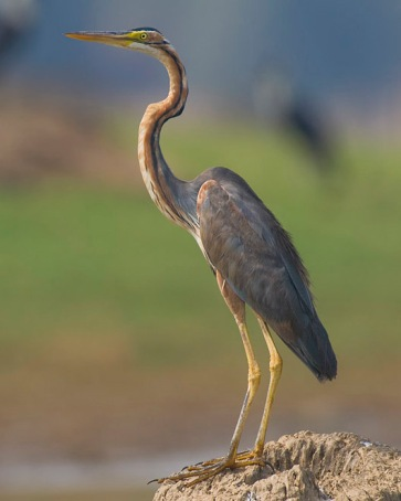Purple Heron Ardea purpurea, Nagarhole NP, India (Yathin S Krishnappa Wiki Commons)