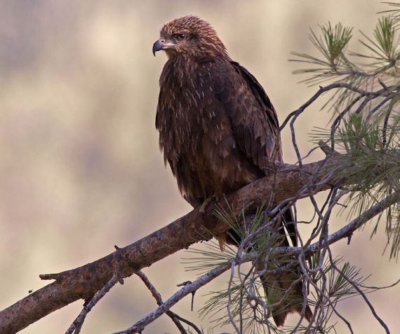 Black Kite Milvus migrans, Upper Galilee (Artemy Voikhansky - Wiki Commons)