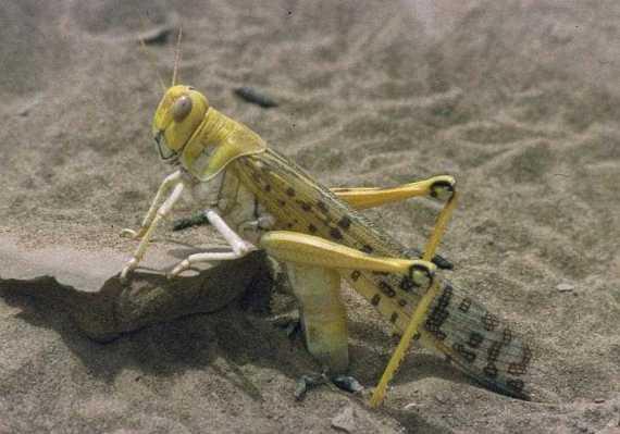 Desert Locust Schistocerca gregaria, laying eggs, Mauritania<br/>(Christiaan Kooyman - Wiki Commons)