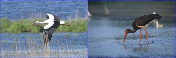 Storks: White Ciconia ciconia, with nesting material, Bingenheimer Reid, Germany (Christina Zientek) Black Ciconia nigra (Marek Szczepanek - Wiki Commons)
