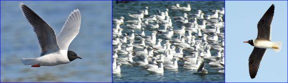 Gulls: Little, Black-headed, White-eyed (all Wiki Commons)