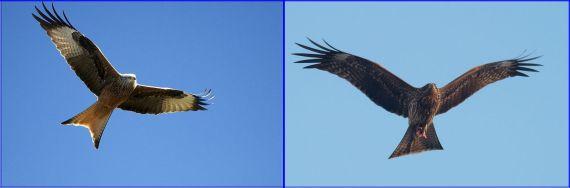 Kites: Red & Black (both WikiCommons)