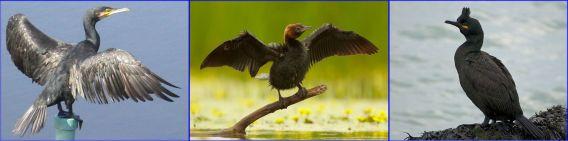 Cormorants in Israel (Wiki Commons) Great Cormorant Pygmy Cormorant European Shag