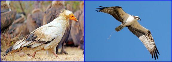 Egyptian Vulture - Chatarpur, India (Arindam Aditya, 1-17-16 Wiki Commons) Osprey - Malibu Lagoon (Randy Ehler 9-26-16)