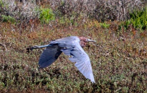 Reddish Egret (J. Waterman 10-8-16)