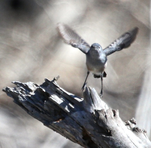 Blue-gray Gnatcatcher (J. Waterman 10-8-16)