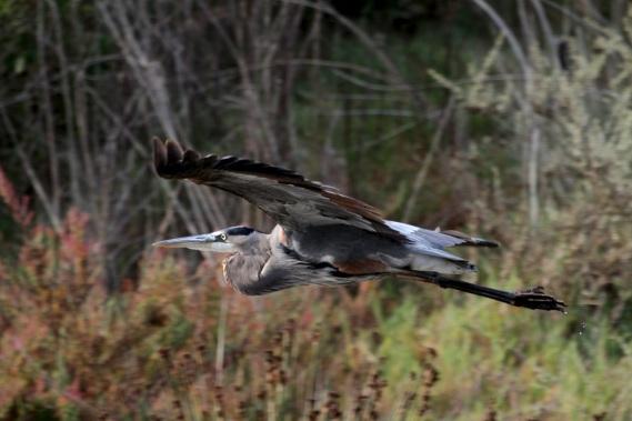 Great Blue Heron aloft (J. Waterman 10-23-16)