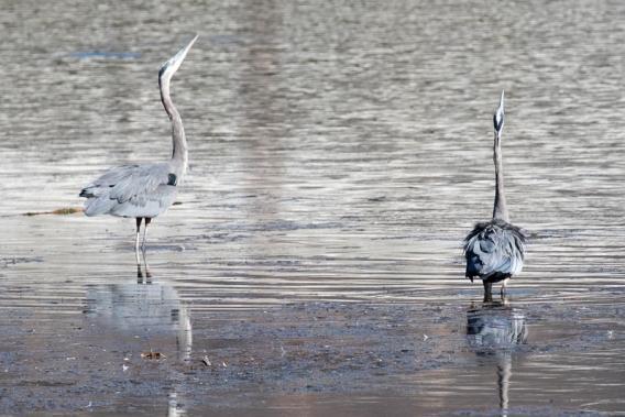 Dancing Great Blue Herons (R Ehler 9-25-16)
