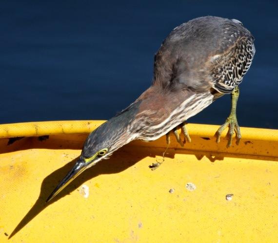 Green Heron (J. Waterman 10-8-16)