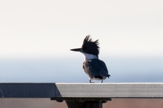 Belted Kingfisher on PCH Bridge (R Ehler 9-25-16)