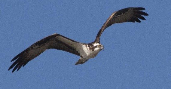 Osprey searches for fish (J. Davidson 9-25-16)