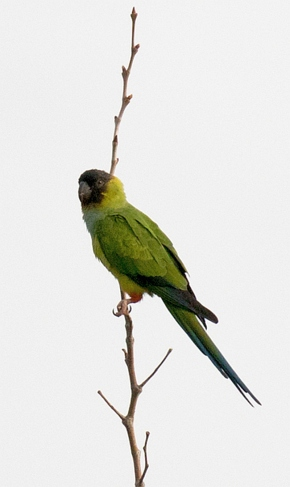 Nanday Conure, down from the local canyons (Randy Ehler 10-23-16)