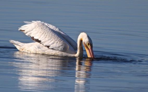 White Pelican (J. Waterman 10-8-16)