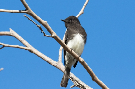 Black Phoebe scouts for a fly (R Ehler 9-25-16)