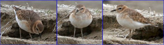 Three faces of the Mountain Plover (Joyce Waterman 10-23-16)