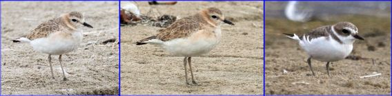Mountain Plover and Snowy Plover for Comparison (R. Ehler, K. Wahlquist & J. Waterman 10-23-16)