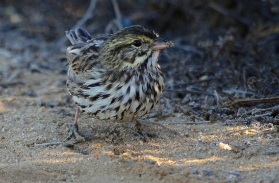 Savannah Sparrow Adult (beldingi)—darkest subspecies, found in coastal marshes of SoCal (J. Waterman 10-8-16)