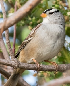 White-crowned Sparrow (Randy Ehler 10-23-16)