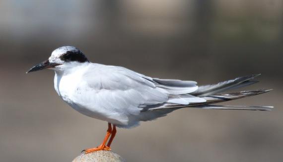 Forster's Tern (J Waterman 10-8-16)