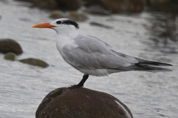 Royal Tern (J. Waterman 10-23-16)